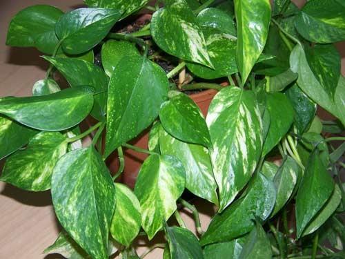 افضل النباتات المنزلية تنقية الهواء